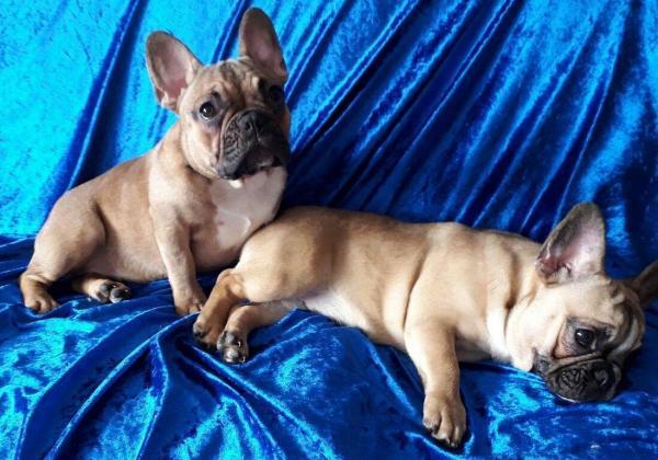 Fawn French Bulldog Puppies in Johannesburg, Gauteng