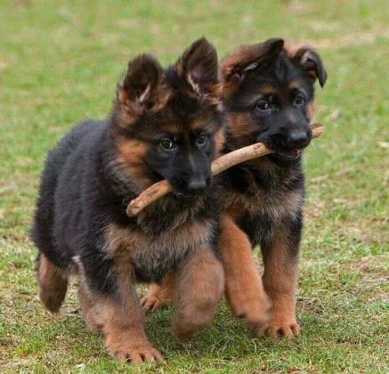 German Shepherd Puppies in Johannesburg, Gauteng