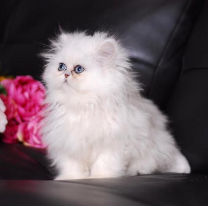Gorgeous Chinchilla Persian Kittens