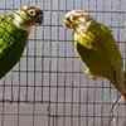 Green Cheek Conures for Sale in Emmarentia, Gauteng