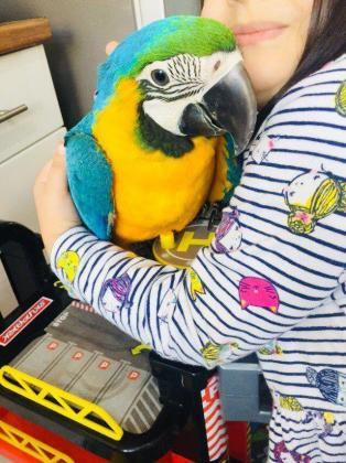 Hand Reared Baby Blue And Gold Macaw With Delivery