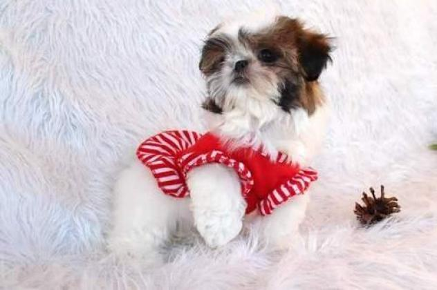 KUSA Registered  Shih Tzu Puppies