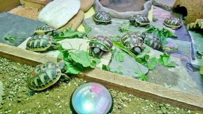 Lively little Hermann tortoise Now Available