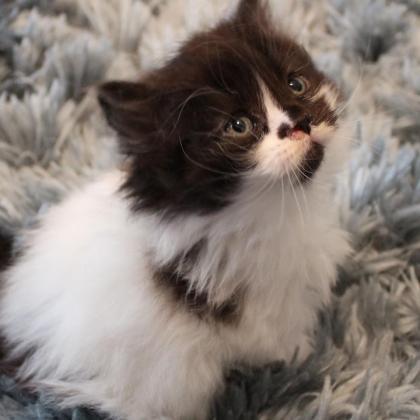 Lovable Persian kittens