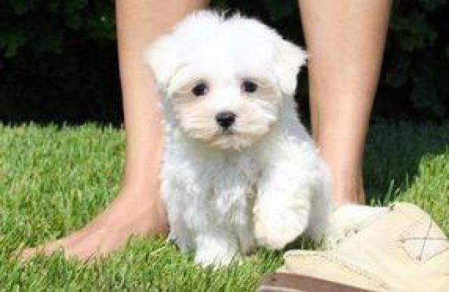 New year Maltese puppies for sale