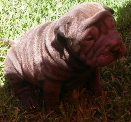 Pedigree Sharpei Puppies for Sale