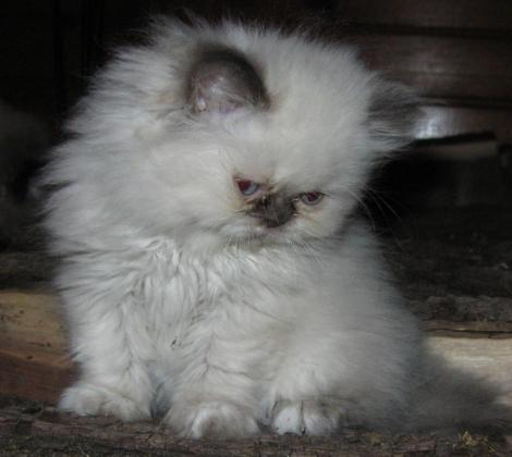 Persian Himalayan Kittens in Walmer Park, Eastern Cape