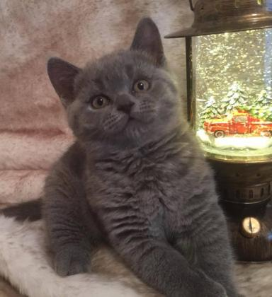 Purebred British Shorthair kittens , 9 weeks old