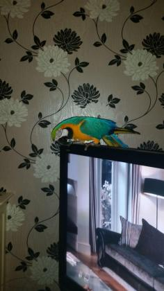 Super Tame Blue And Gold Macaw
