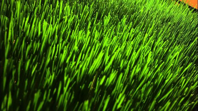 Wheatgrass seeds 4 Kg  R 160.00
