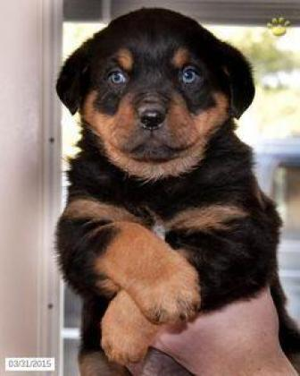 Xmas special Rottweiler puppies for sale