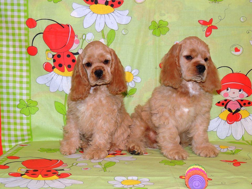 Cocker Spaniel puppies | Somerset West | Public Ads Cocker
