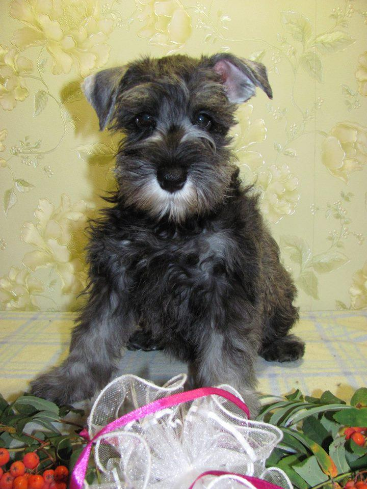Gorgeous Miniature Schnauzer Puppies | Harrismith | Public