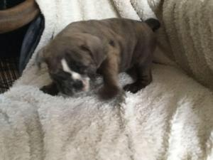 English Bulldog Dogs Or Puppies For Sale In Free State Public Ads