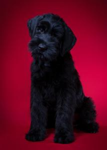 high quality Miniature Schnauzers  Puppies :