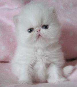 Outstanding Persain Kittens