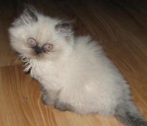 Persian Himalayan Kittens