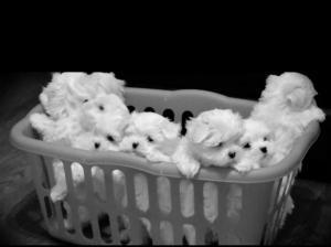 Stunning Teacup Maltese puppies