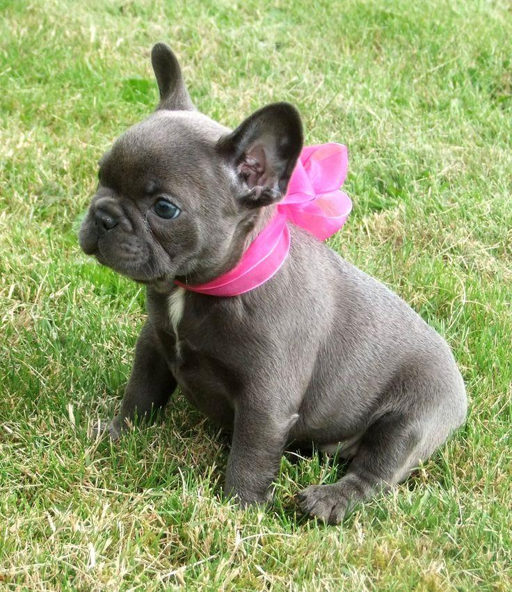 french bulldog phoenix pure quality xmax blue frenchies puppies phoenix 3563