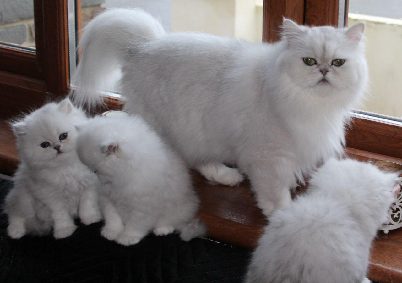 Registered Cream Male And Female Persian Kitten