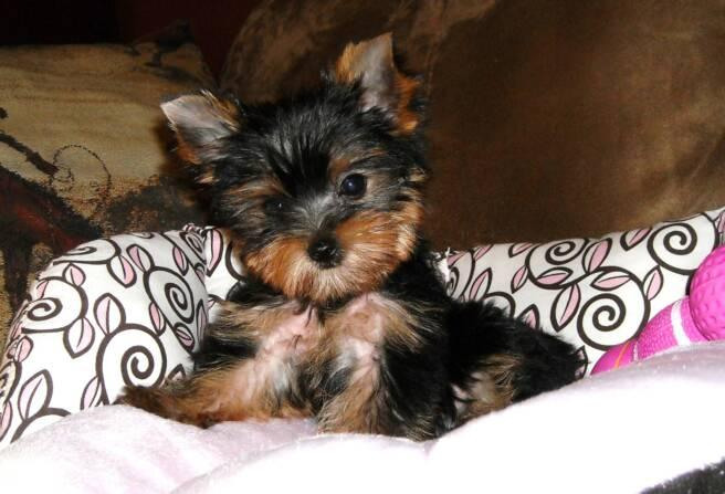 teacup yorkshire terrier puppy for sale teacup small yorkie puppies for sale cs bay public 8413