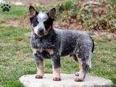 1- Australian Cattle Dog Blue Heeler puppies