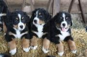 Beautiful Bernese Mountain Dog puppies Available