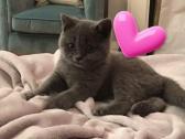 Stunning Reg. British Shorthair kittens