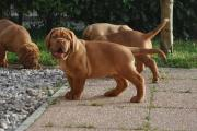 French Mastiff Puppies for sale to loving homes.