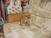 Stunning And Tri Cavalier King Charles Pups