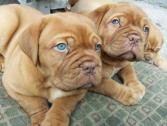 Beautiful Chunky French Mastiff Puppies