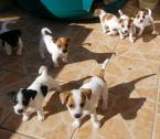 Beautiful Jack Russel puppies