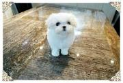 beautiful maltese puppies available