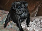 Registered pug Puppies Now Available