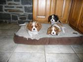 Blenheim And Tri Cavalier King Charles Puppies