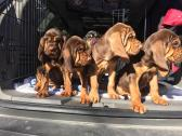 Bloodhound Puppies From European bloodline