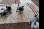 Cute Purebred pug Puppies available