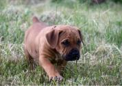 French Mastiff puppies ready for sale