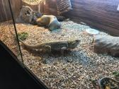 Friendly Bearded Dragon And Full Set Up