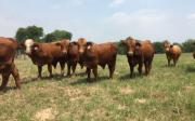 Goat, Lambs, Sheep, Ewes Braman Heifers Bulls available