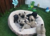 Gorgeous Pug Puppies