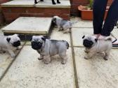Gorgeous Pug Puppies for Xmas