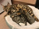 Pedigree Bengal Kittens