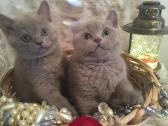Purebred British Shorthair kittens , 9 weeks old