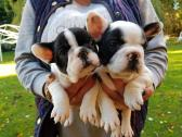 Quality french bulldogs At The Right Price