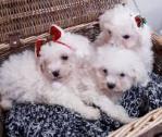 Stunning Bichon Frise Puppies