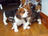 Tri colour beagle puppies for sale