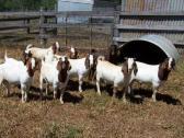 we sale best quality sheep ram merino and Dorper