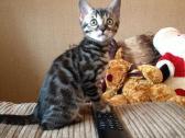 Stunning Brown Bengal Kittens