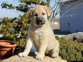 9 Beautiful Anatolian Shepherd puppies